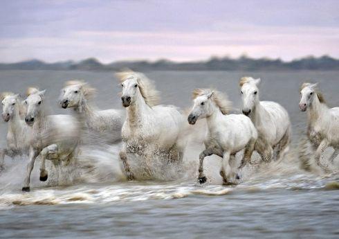 法国罕见马种野外自由奔驰壮观场面