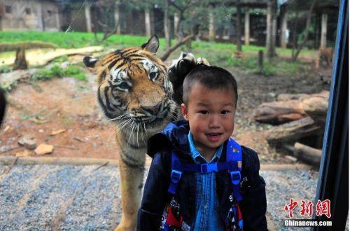 """云南野生动物园:人与老虎的""""亲密接触"""""""