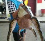 村民抓到巨蛙 重8.6斤被称蛙精