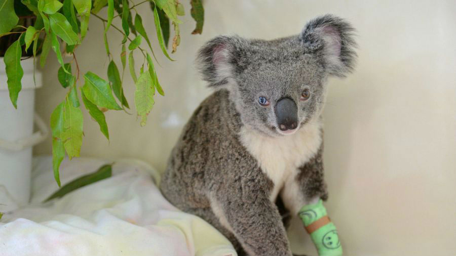 """两个瞳孔颜色不一样的考拉 2016年7月12日报道,澳大利亚昆士兰,当地澳大利亚动物园野生动物医院收治了一只雌性考拉,这只考拉患有虹彩异色症,一只瞳孔呈蓝色,而另一只则呈棕色。这只受轻伤的考拉""""鲍伊""""在痊愈后会重返自然。"""