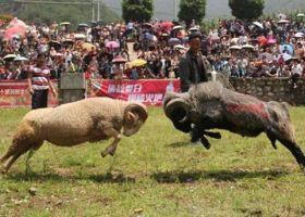 2017 쓰촨 량산 횃불축제 '화려한 개막', 소싸움 양싸움 시선 집중
